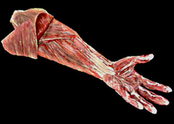flayed hand latex halloween anatomy prop